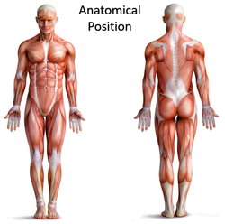 Image result for anatomical position