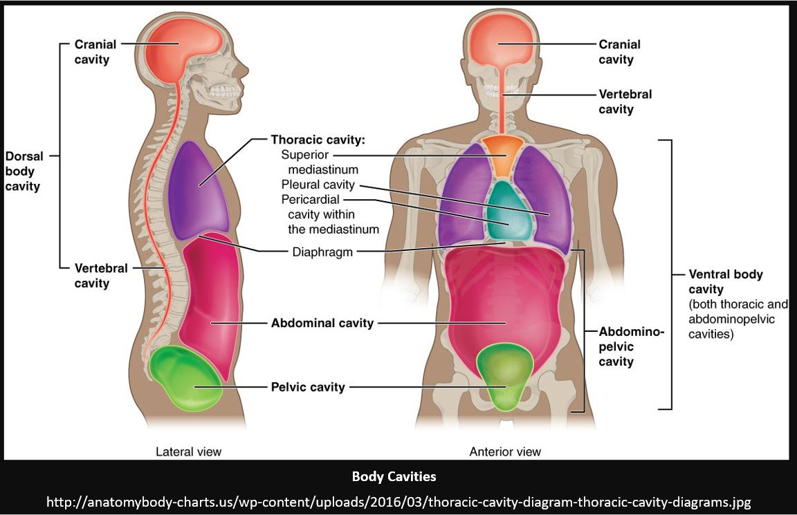 Body Cavities And Membranes on cavities within the thoracic cavity