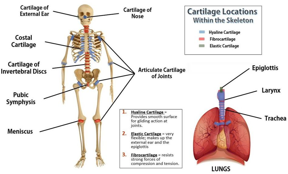 Bones And Skeletal Tissues on diagram of body cavities