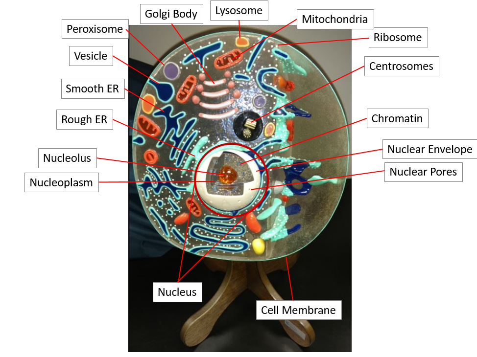 Anatomy Of The Cell Scientist Cindy