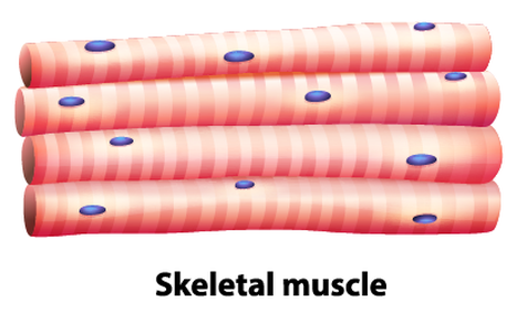 skeletal muscle tissue - Kubre.euforic.co