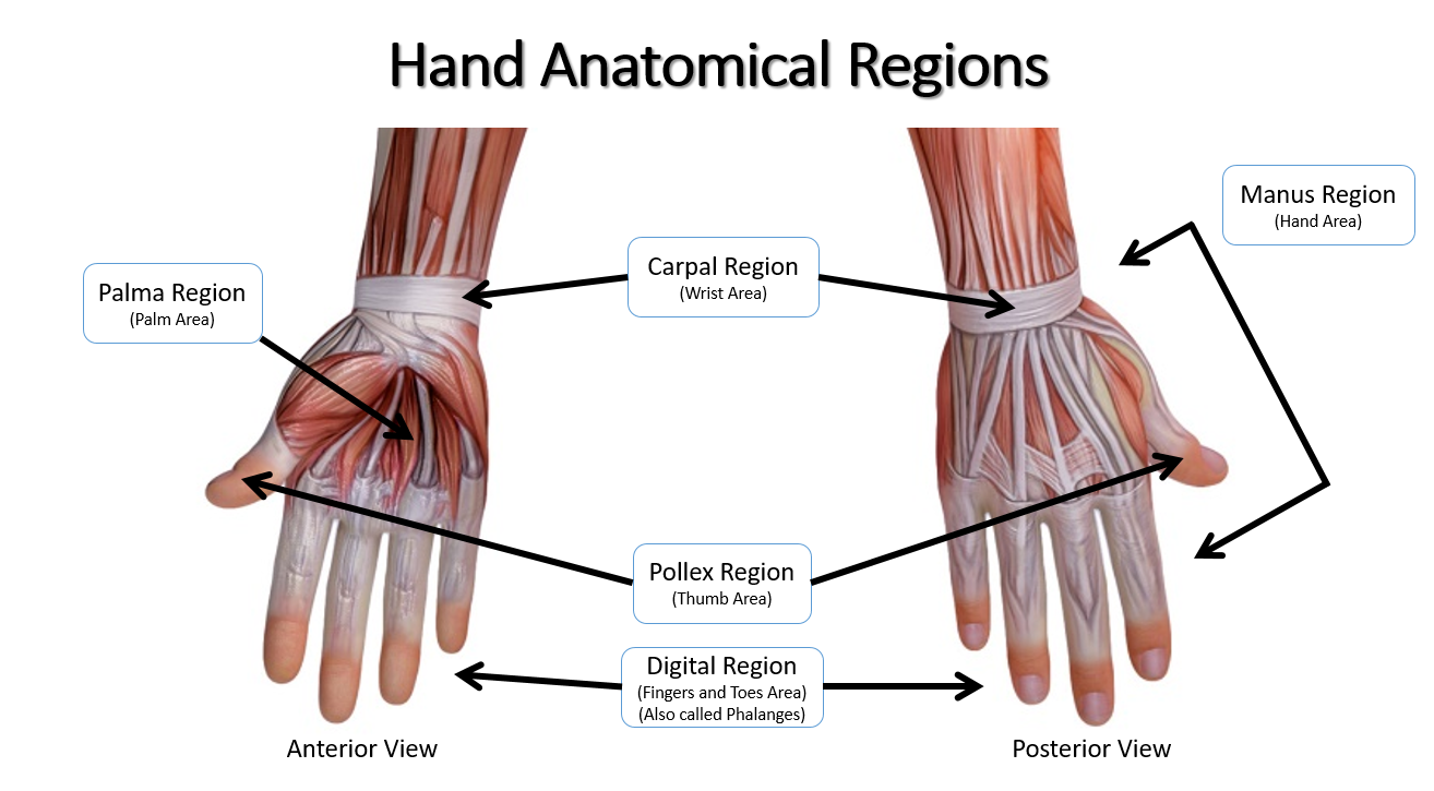Anatomical Regions Scientist Cindy