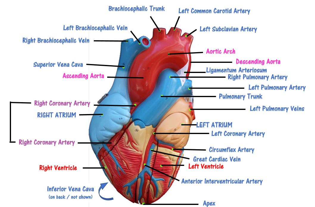 The heart scientist cindy the blood from the upper part of the body enters the right atrium through the superior vena cava and the blood from the lower part of the body enters the ccuart Images