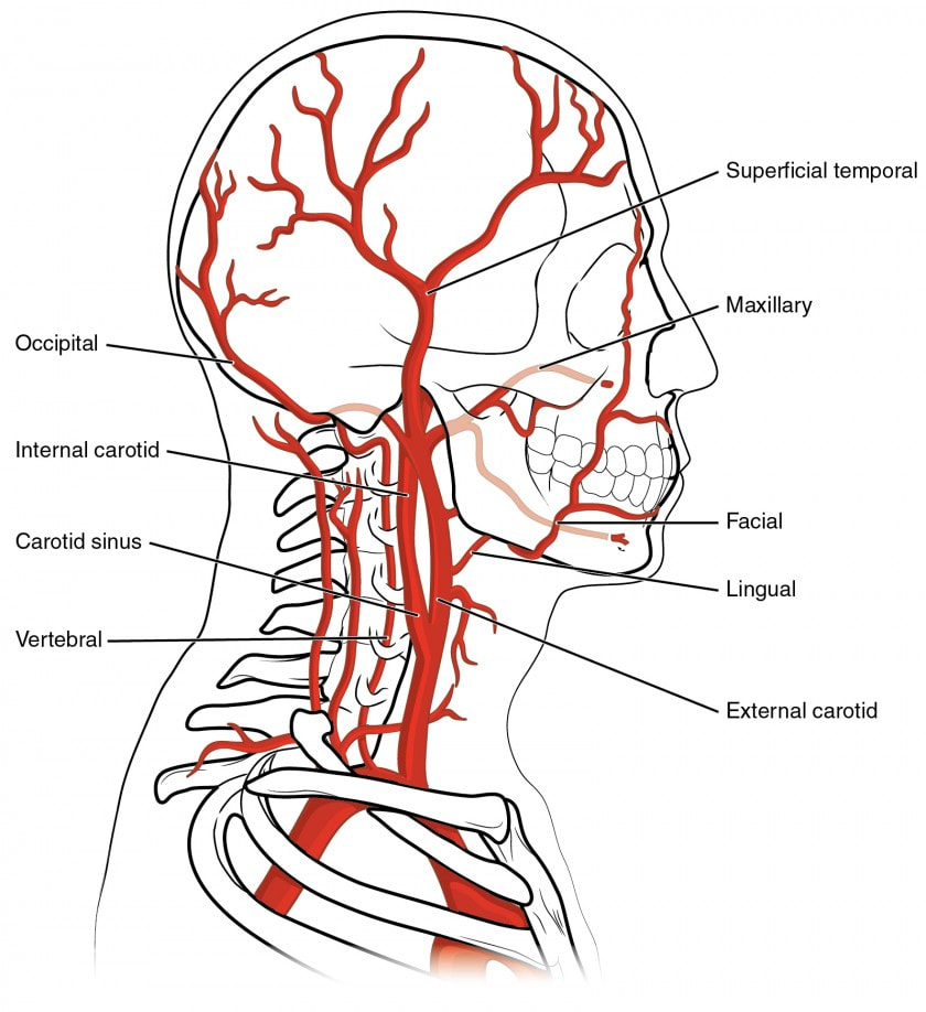 THE VESSELS OF BLOOD CIRCULATION - SCIENTIST CINDY